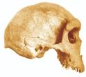 Rhodesian Mam Skull